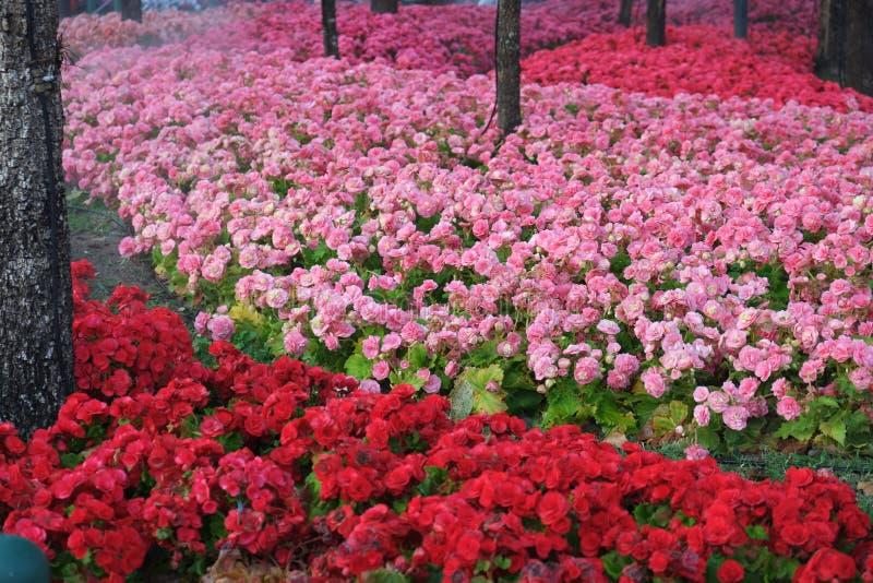 Rosa färgblommaträdgård arkivbilder