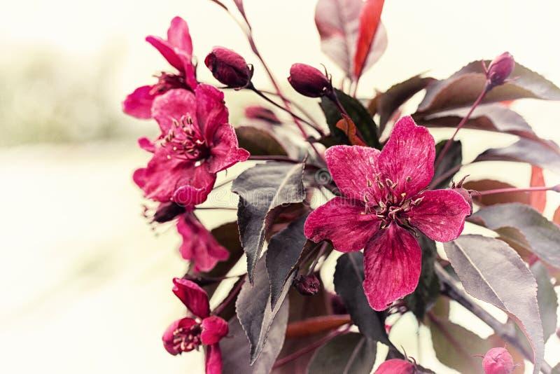 Rosa färgblommor, blomningfilial av fruktträdet yellow för fjäder för äng för bakgrundsmaskrosor full Fjädra den tid… ron lämnar, royaltyfri bild