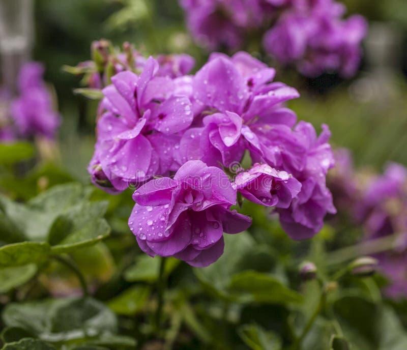 Rosa färgblommor - droppar av vatten arkivfoto