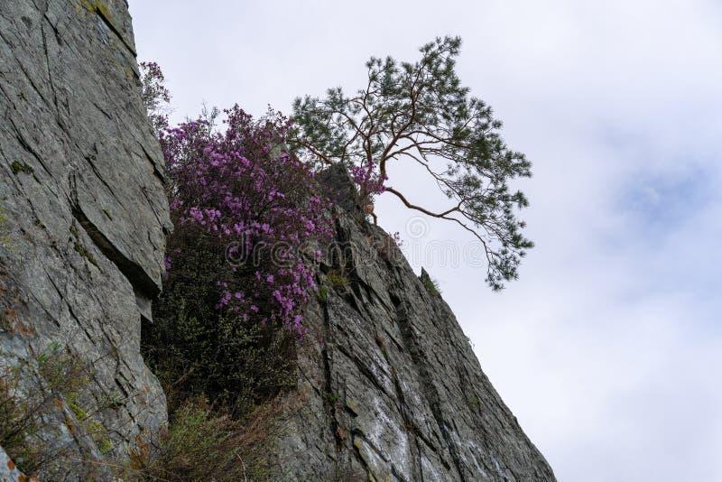 Rosa färgblommor och ett träd på kanten av klippan mot himlen royaltyfri bild