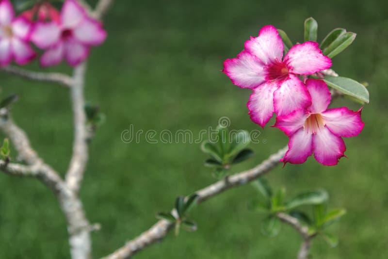 Rosa färgblommor och suddig bakgrund, söt tapet, naturlig bakgrund fotografering för bildbyråer
