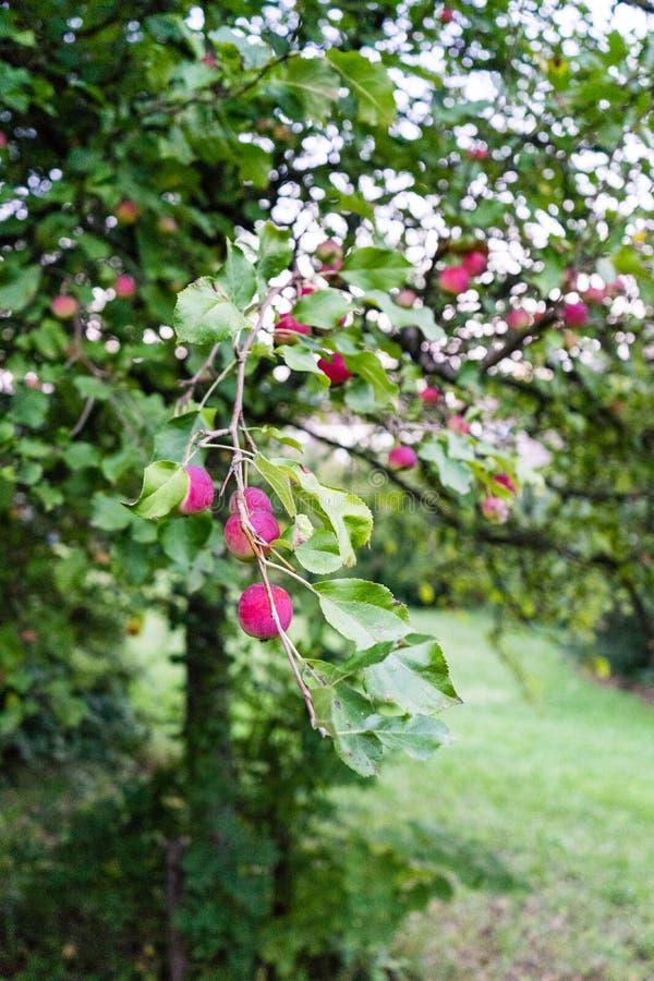 Rosa färgen bär frukt på träd arkivbilder