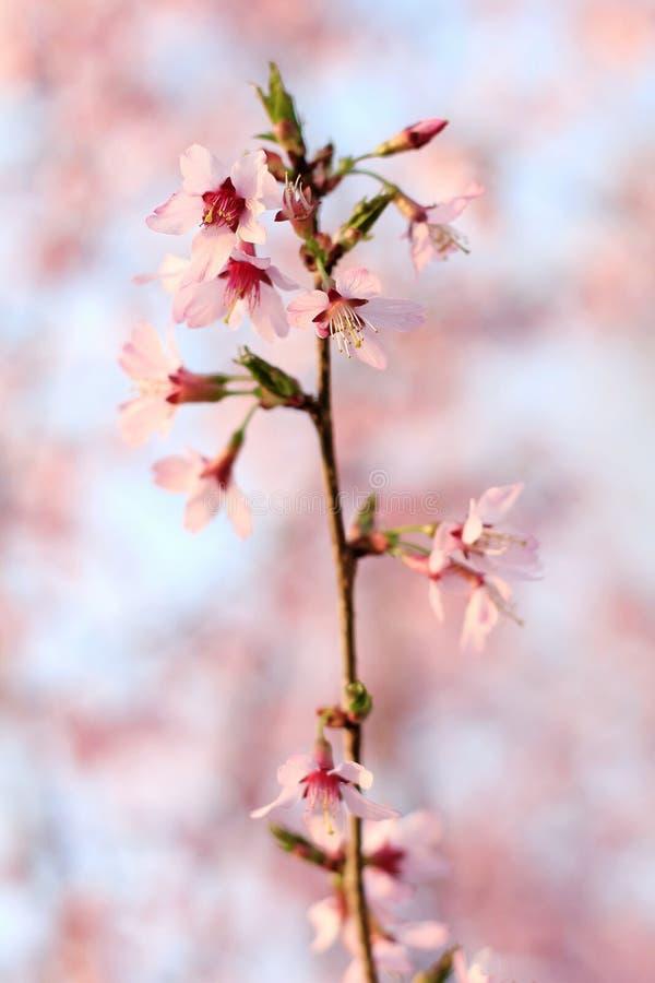 Rosa färgen blommar att blomma på träd royaltyfria bilder
