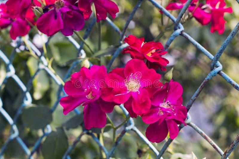 Rosa färgen blommar den Rosa rubiginosaen i staket, pastellfärgade färger royaltyfri fotografi
