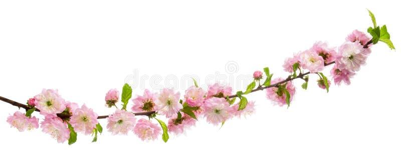 Rosa färgen blommar det blommande mandelträdet på filial med gröna sidor som isoleras på vit bakgrund arkivbilder