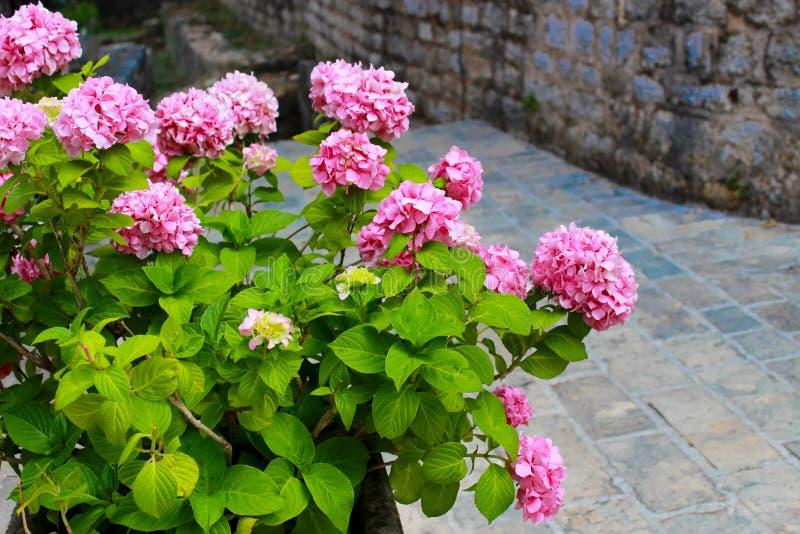 Rosa färgen blommar i Montenegro arkivbilder
