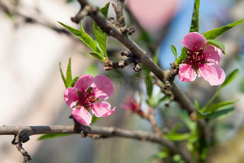 Rosa färgen blommar i trädet royaltyfri foto