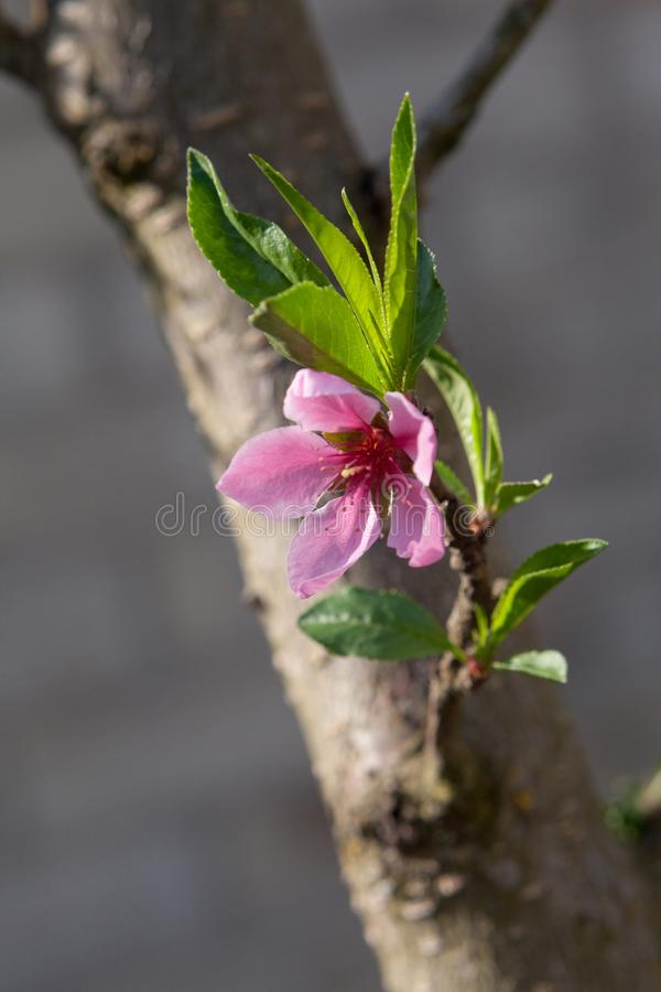 Rosa färgen blommar i trädet royaltyfri bild