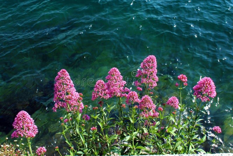 Rosa färgen blommar mot vatten royaltyfri bild