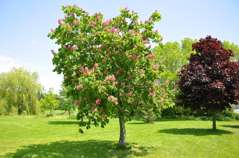 Rosa färgen blommar på rött häst-kastanj träd royaltyfria bilder