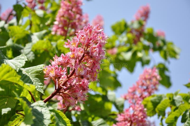 Rosa färgen blommar på rött häst-kastanj träd arkivbild