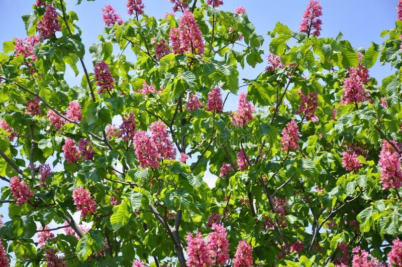 Rosa färgen blommar på rött häst-kastanj träd arkivfoton