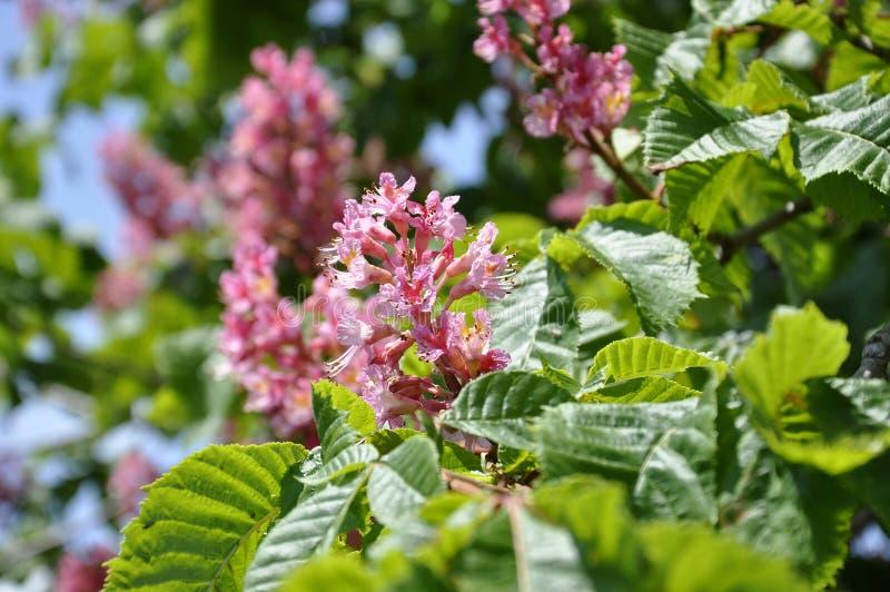Rosa färgen blommar på rött häst-kastanj träd royaltyfri fotografi