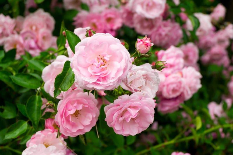 Rosa färgen blommar på rosbusken i trädgården, sommartid royaltyfri fotografi