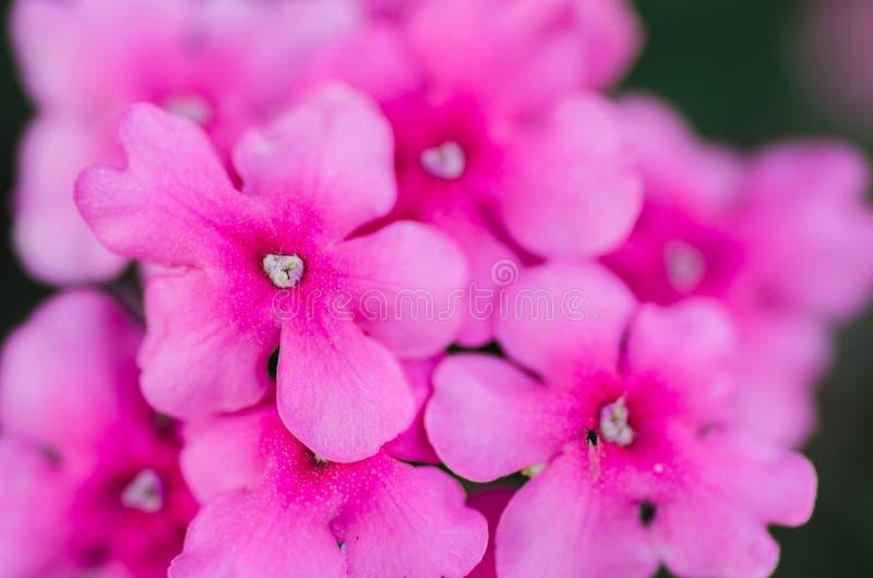Rosa färgen blommar upp bakgrundsslut arkivbilder