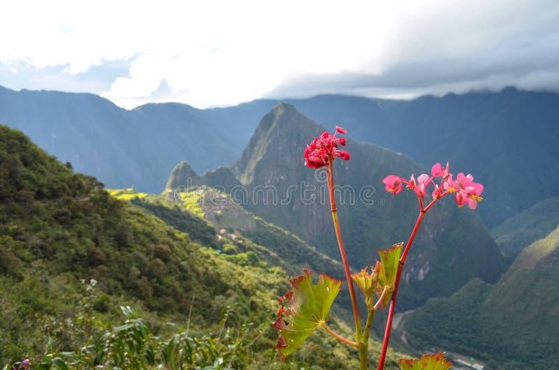 Rosa färgen blommar vid Machu Picchu arkivfoto