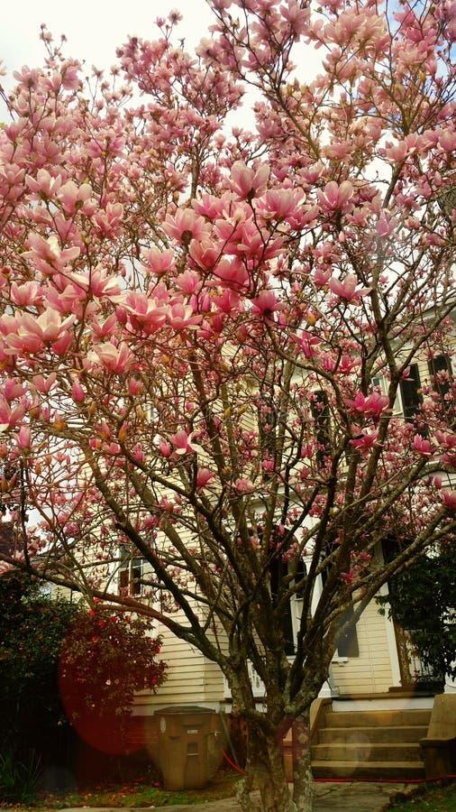Rosa färgen blomstrar i träden arkivfoton