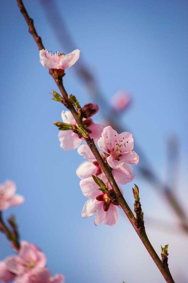 Rosa färgen för persikaträdet blommar på en filial arkivfoto