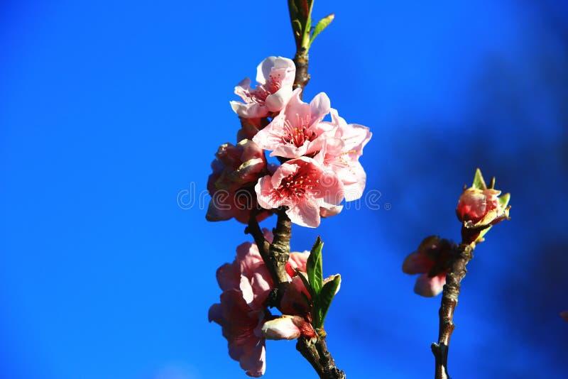Rosa färgen med den röda persikan blommar med bakgrund för blå himmel royaltyfri bild