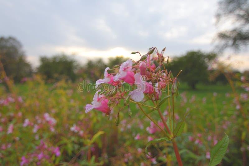 Rosa färgen rensar blommor royaltyfri fotografi