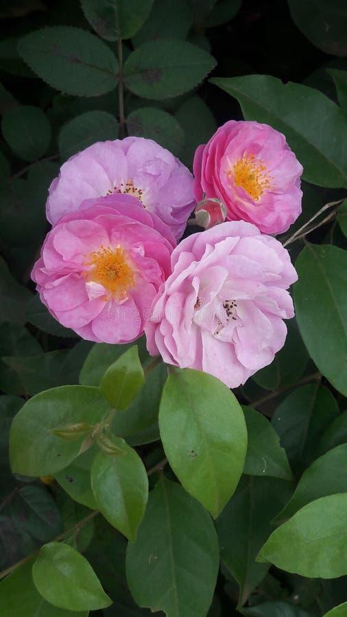 Rosa färger royaltyfria foton