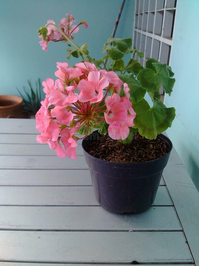 Rosa färger blommar härligt royaltyfri bild