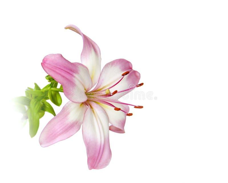 Rosa färger blommar lilly den nya blomningcloseupen som isoleras på vit bakgrund arkivbild