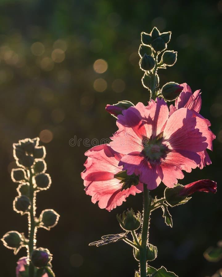 Rosa färger blommar med suddig baksidajordning och ljus effekt, Thailand arkivfoto