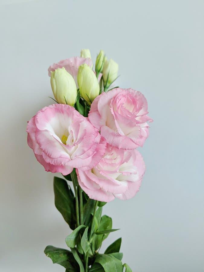 Rosa färger blommar och gör grön sidor på den vita bakgrunden royaltyfria bilder