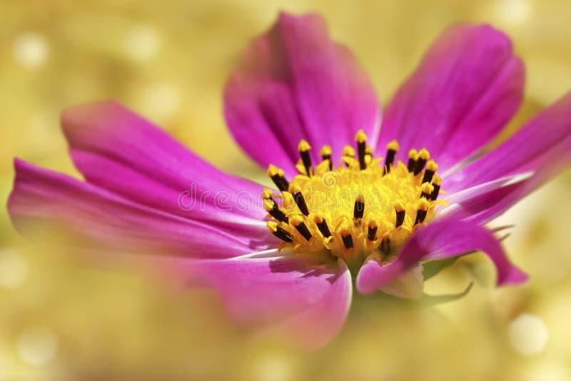 Rosa färger blommar på ett ljus - gul suddig bakgrund slapp fokus Närbild royaltyfri bild