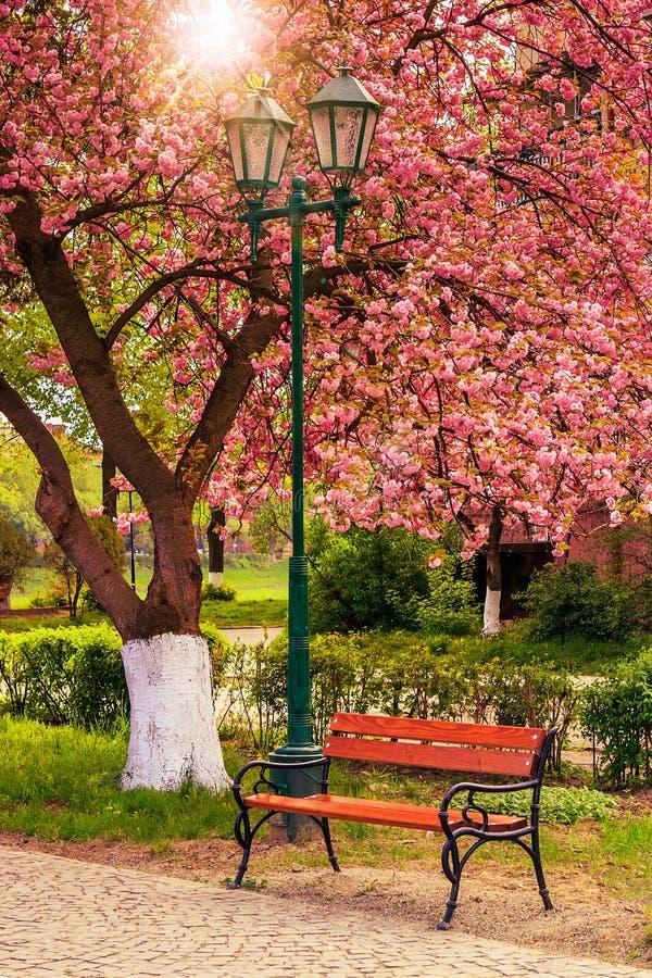 Rosa färger blomstrade det sakura trädet nära bänken och lyktan arkivbilder