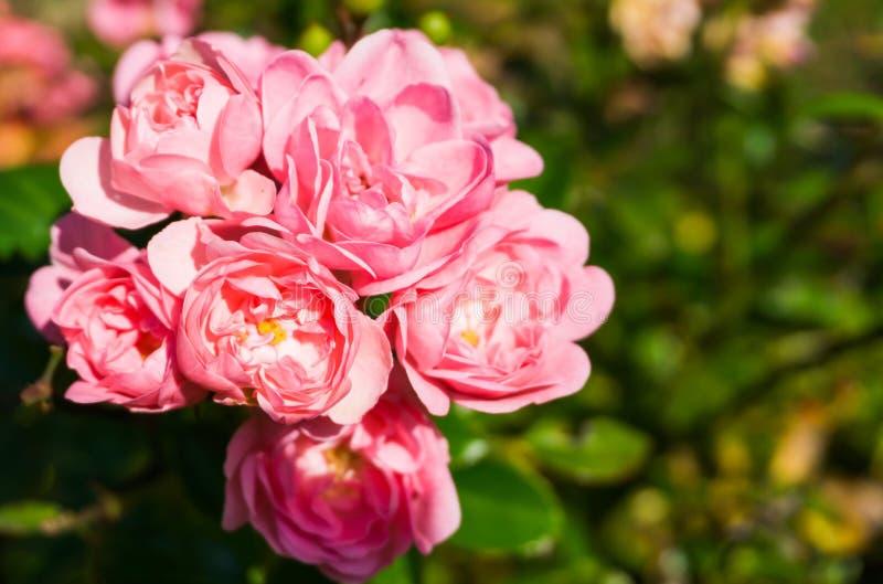 Rosa färger de felika rosorna i makrocloseup, en härlig trädgård steg royaltyfri fotografi