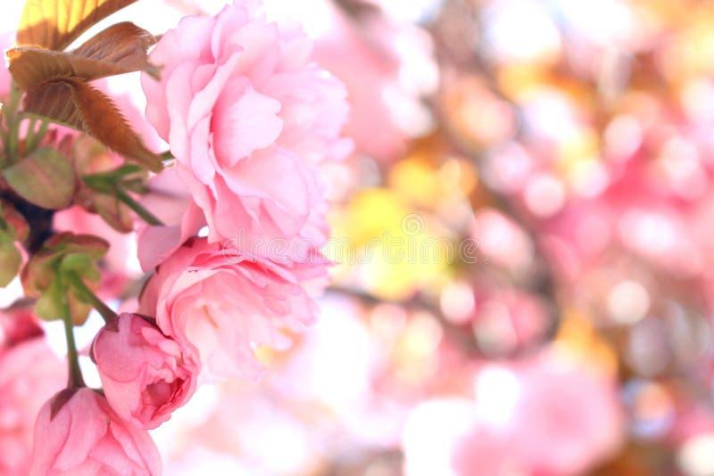 Rosa färger delikata blommor, spanjor fjädrar, blomningmandeln, allt trä i färger royaltyfri bild