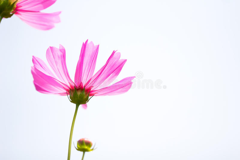 Rosa färger för övre sikt för slut blommar härliga kosmos som isolerar på vita lodisar royaltyfria bilder