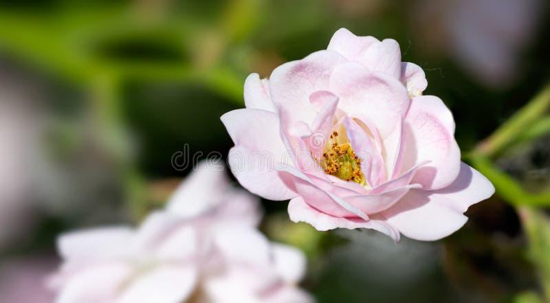 Rosa färger fen steg i en trädgård arkivbilder