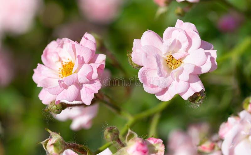 Rosa färger fen steg i en trädgård royaltyfria foton