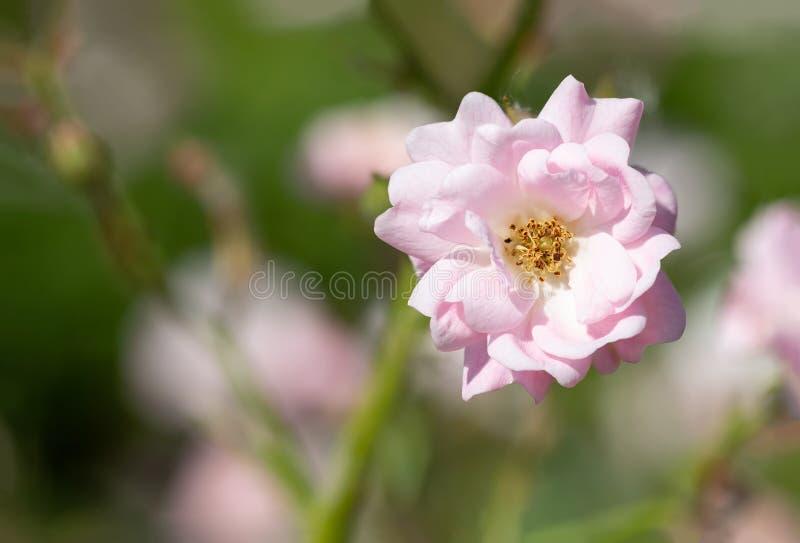 Rosa färger fen steg i en trädgård arkivfoton