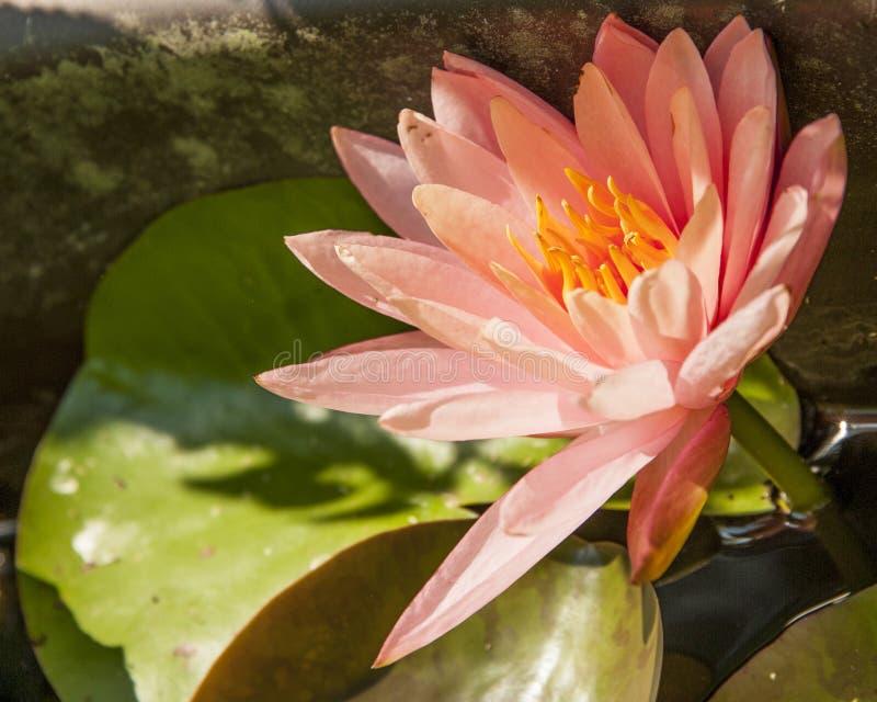 Rosa färger i natur royaltyfri bild