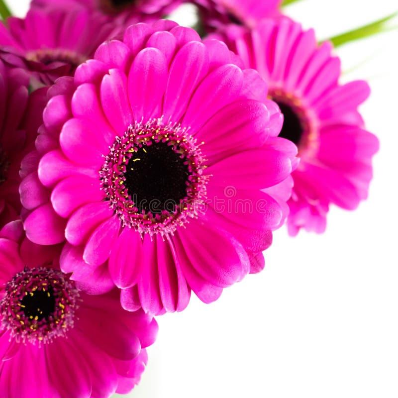 Rosa färger/purpurfärgad/för violetteGerberablomma bukett Inomhus med vit bakgrund royaltyfria foton