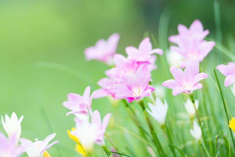 Rosa färger regnar lilly blomningblomman arkivbild