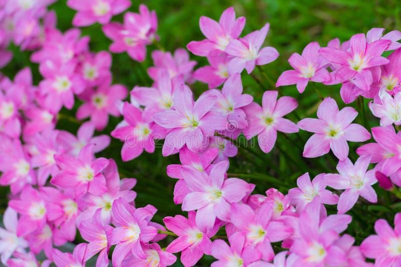 Rosa färger regnar lilly blomningblomman arkivbilder