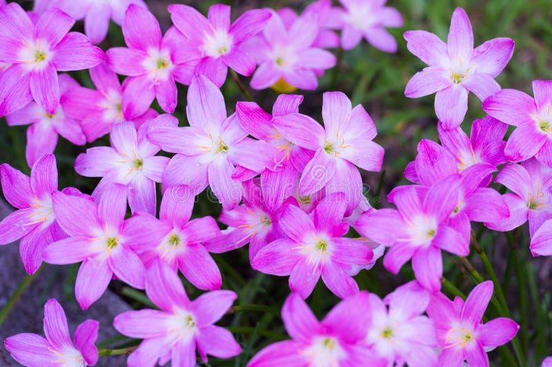 Rosa färger regnar lilly blomningblomman royaltyfria bilder