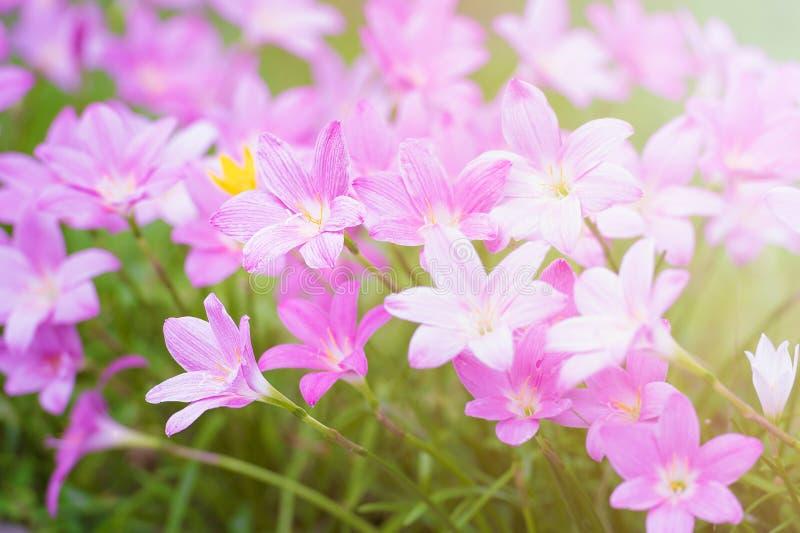 Rosa färger regnar lilly blomningblomman med sunflare royaltyfri bild