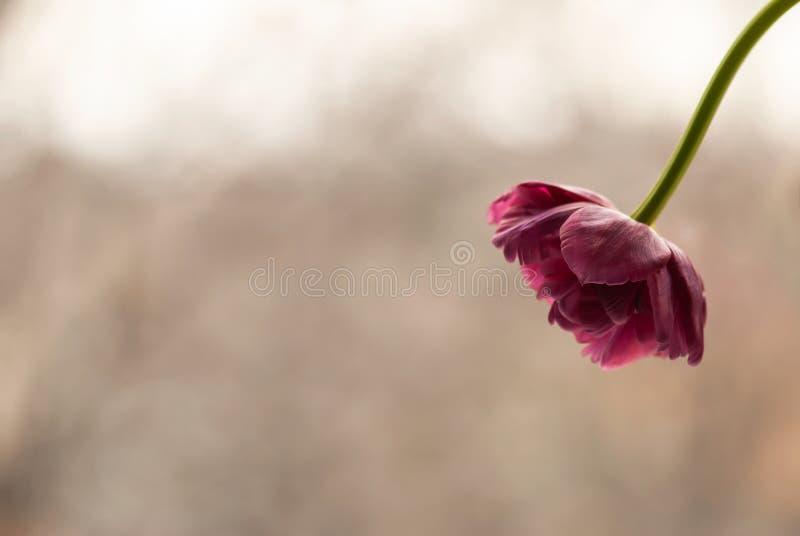 Rosa färger rufsad tulpan arkivbilder