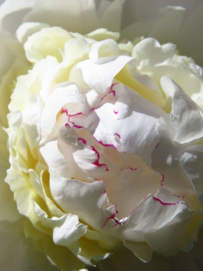 Rosa färger satt fransar på pion arkivbilder