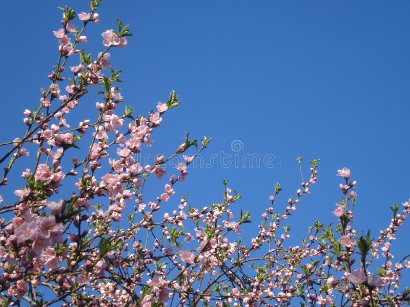 Rosa färger som blomstrar ris på blåttvårhimmel arkivbilder