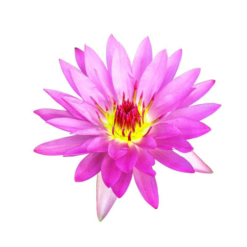 Rosa färger som isoleras waterlily arkivfoto
