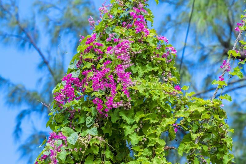 Rosa färger som kryper blommor i Barbados royaltyfria bilder