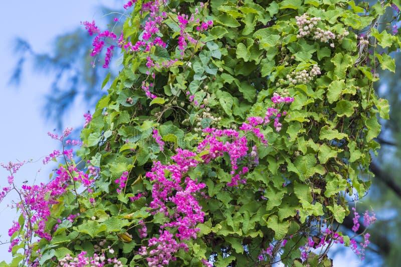 Rosa färger som kryper blommor i Barbados arkivbilder