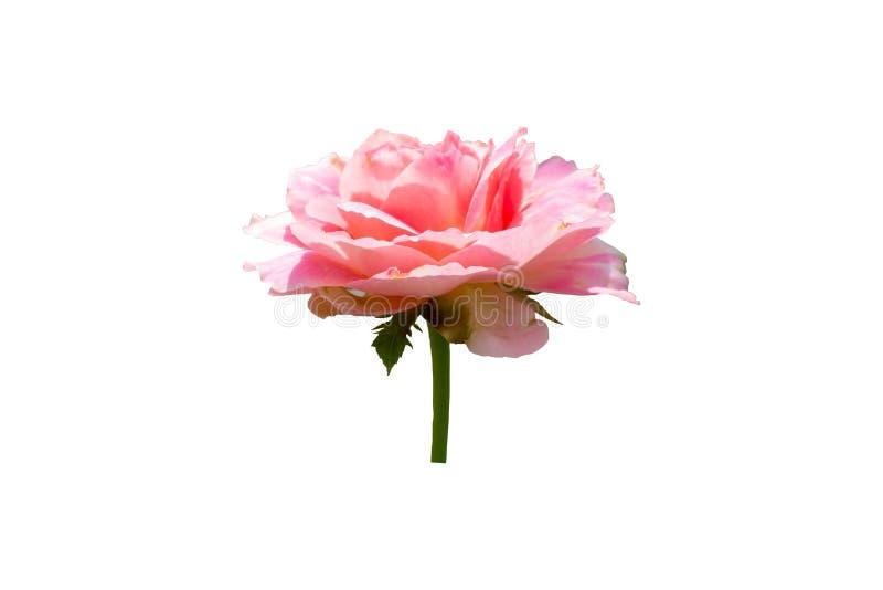 Rosa färger steg blomma med den gröna stammen som isolerades på vit bakgrund arkivfoto
